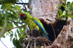 Rainforest Rio San Carlos, Boca Tapada - Great Green Macaw