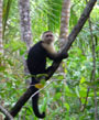 Corcovado - Capuchin Monkey - Sustainable vacation package