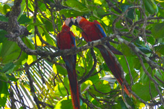 Corcovado National Park - Macaws