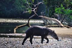 Corcovado National Park - Danta